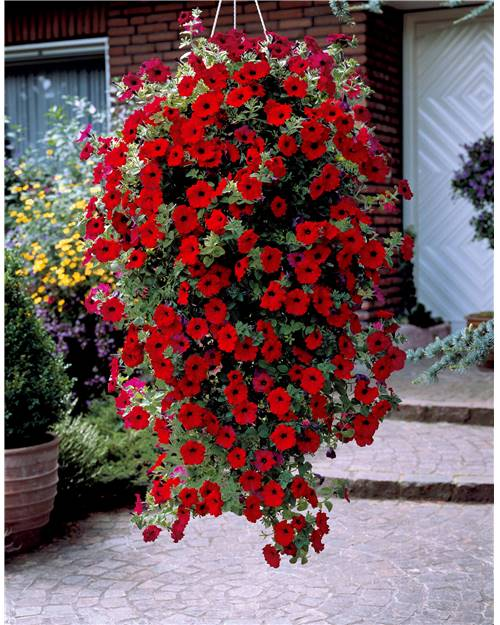 P tunia retombant easy wave 39 red 39 f1 willemse - Semer du persil en jardiniere ...