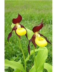 Orchidée : Cypripedium calceolus