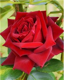Rosier buisson Grande Amore ®