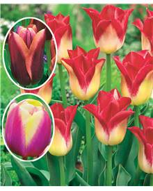 Collection 3X10 tulipes Triomphe