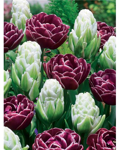 Coll. 6 tulipes 'Fantaisie' ( 3 Harbor light + 3 DreamTouch)