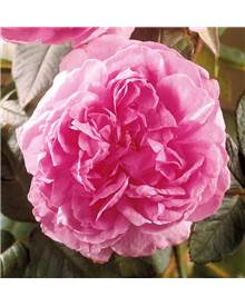 Collection 3 rosiers buissons ('Arthur Bell', 'Comte Chambord', 'Walztime')