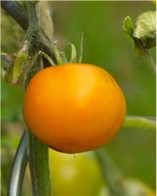 3 Plants Tomate 'Orange Queen'