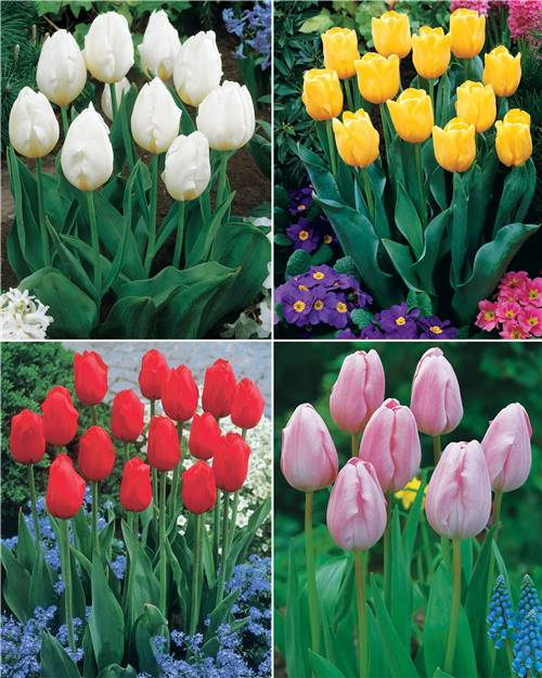 Collection 20 tulipes longues tiges(rouge,jaune,blanche,rose)