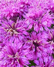 Monarde Purple Lace