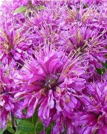 Monarde Pardon me purple