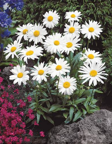 Marguerite d 39 t willemse - Vivace en pot ...