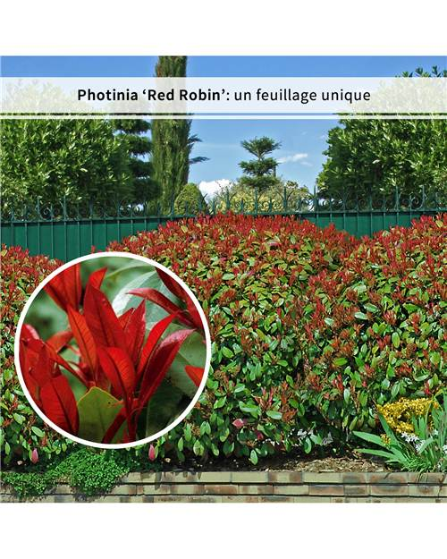 6 Photinias 'Red Robin'