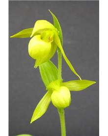 Orchidée : Cypripedium henry