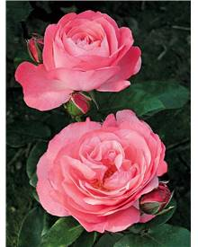 Rosier buisson rose