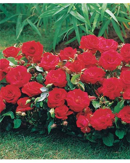 30 Mini-rosiers 'Randilla' rouges