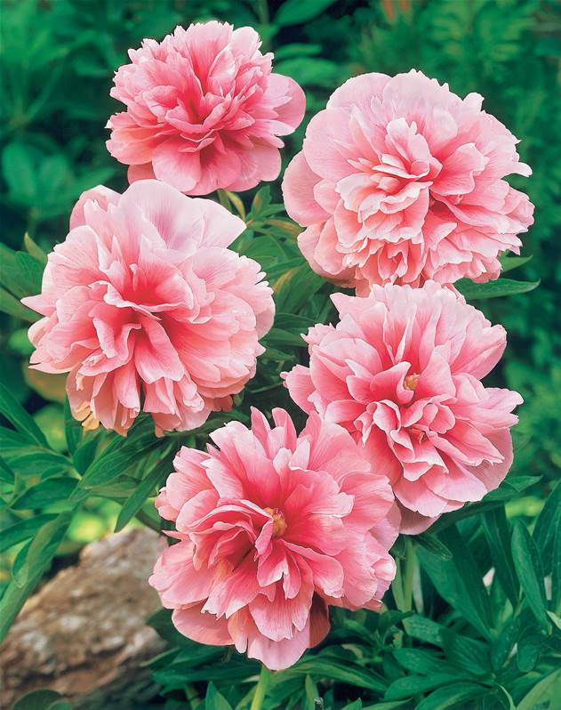 2 pivoines roses willemse for Willemse fleurs