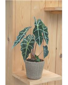 alocasia achat vente plantes d 39 int rieur willemse jardin. Black Bedroom Furniture Sets. Home Design Ideas