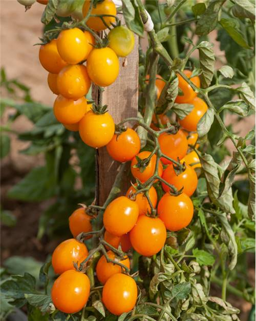 3 Plants Tomate 'Gold nugget'