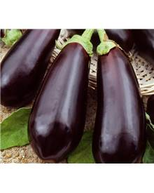 Aubergine Black Beauty - Morelle comestible