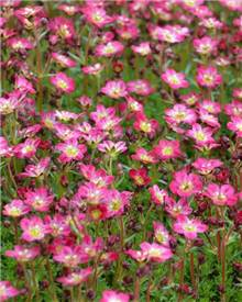 Saxifrage d'Arends Pixie Rose Saxifrage mousse Pixie Rose