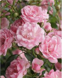 Rosier The Fairy rose, Rosier Perle Rose