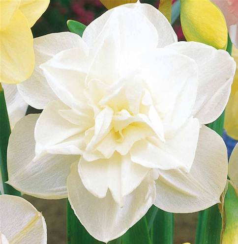10 narcisses fleurs doubles 39 obdam 39 willemse for Willemse fleurs