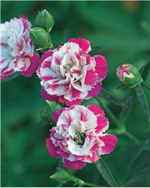 3 Oeillets 'Paradis rose'
