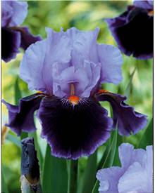 3 Iris de jardin 'Magic Man'