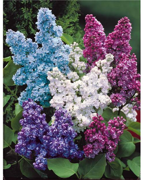 Collection de 4 Lilas doubles (1 bleu +1 rouge + 1 blanc + 1 lilas) 20/30 cm