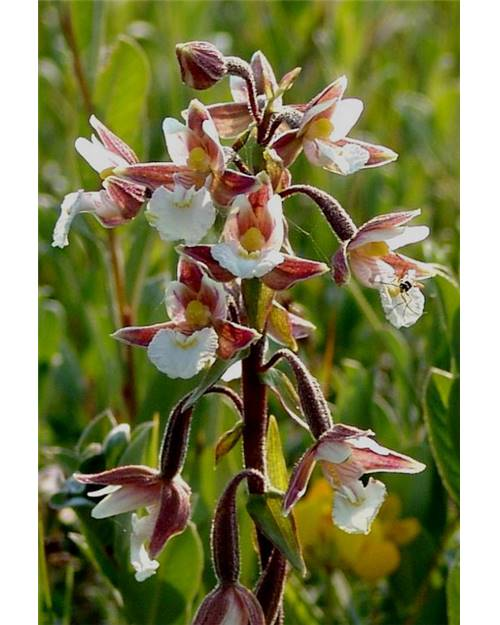 orchidee epipactis