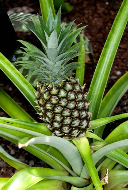 Ananas willemse for Plante exterieur hiver ete