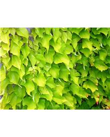 Parthenocissus Golden wall® fenway