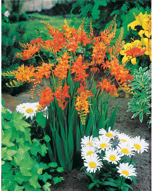 3 Crocosmias orange