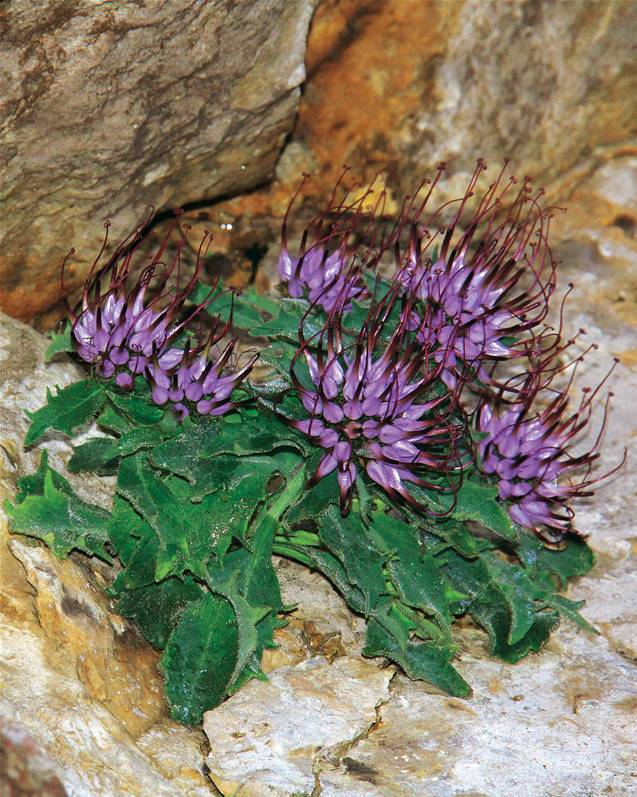 2 physoplexis comosa willemse for Jardin willemse