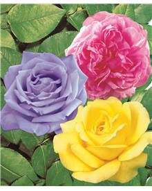 Collection 3 rosiers buissons ('A. Bell' 'Comte de Chambord', 'Walztime')