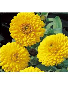 Souci double Golden Yellow