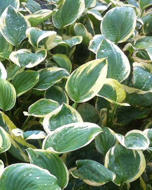Hosta Shade Fanfare