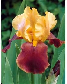 Collection de 6 Iris de jardin remontants