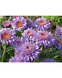 Collection 3 asters doubles