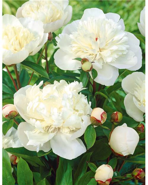2 Pivoines 'Immaculée'