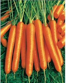 Collection de carottes: 40g Nantaise, 5gCarentan, 5 g Colmar