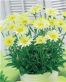 2 Marguerites 'Banana Cream'