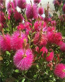 Callistemon Hot Pink Rince-bouteille Hot Pink