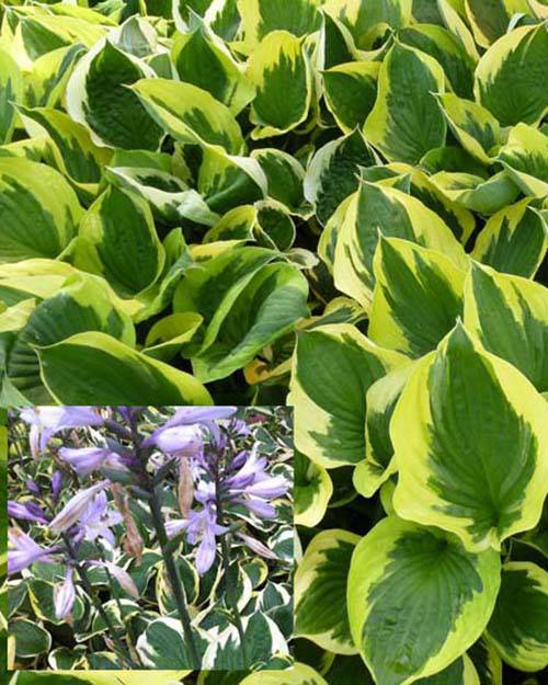 Hosta Twilight Funkia Twilight