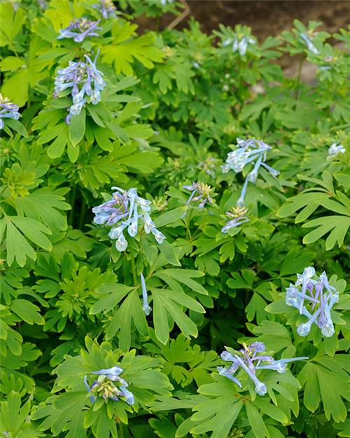 Corydalis Blue Line ® Couriblue