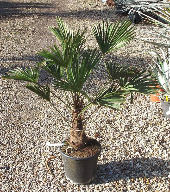 Trachycarpus wagnerianus palmier nain willemse for Entretien rosier nain interieur