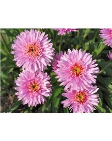 2 Asters doubles roses