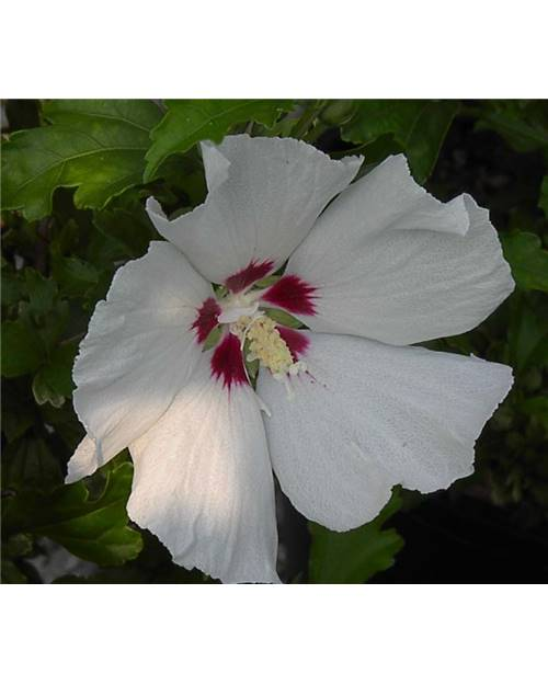 HIBISCUS syriacus Red heart blanc