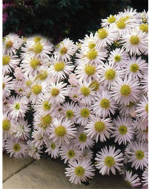 3 Asters nains blancs