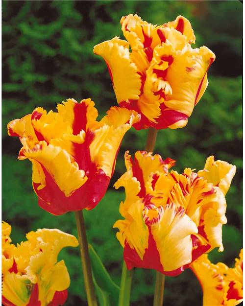 8 Tulipes 'Flamme du Texas'