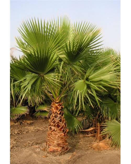 Washingtonia robusta : Palmier éventail.