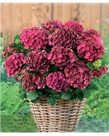 Hortensia Rembrandt 'Rosso Glory'