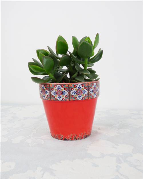 Crassula (vendu sans cache-pot) - Crassula 'Hulk'
