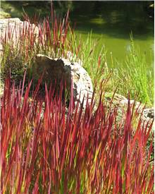 4 Imperata Red Baron